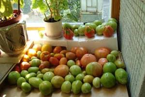 Недозревшие помидоры