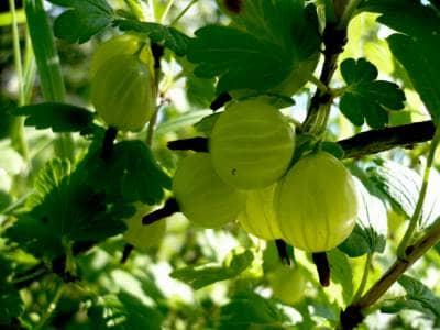Крыжовник – цветущий куст на участке