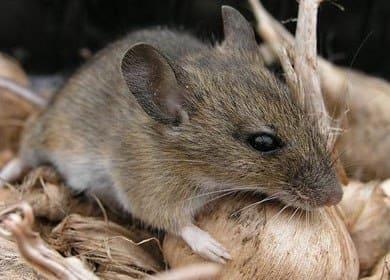 Мыши – «дачники»